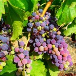 Ripening grapes Priorat wine tours Spain